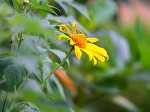 美丽的太阳花和美好的绿色 库存照片