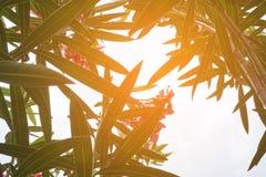 美丽的夹竹桃夹竹桃叶子和阳光 免版税库存照片
