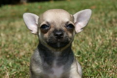 美丽的奇瓦瓦狗小狗 免版税库存图片