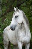 美丽的奥尔洛夫小跑步马 库存图片