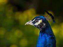 美丽的女性孔雀画象侧视图黑暗树荫 免版税库存照片