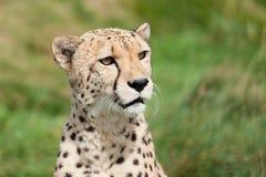 美丽的好奇猎豹纵向  免版税图库摄影