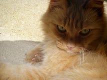 美丽的姜,掩藏在阴影的长发猫 免版税图库摄影