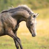 美丽的威尔士小马,产驹3个星期年纪 免版税图库摄影
