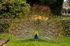 美丽的孔雀和他的被打开的尾巴 免版税库存图片