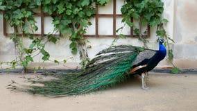 美丽的孔雀在开放庭院里 与明亮的五颜六色的羽毛的公孔雀在墙壁附近站立 免版税库存图片