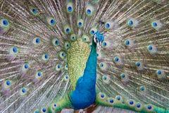 美丽的孔雀有多彩多姿的羽毛的被调直的蓬松尾巴:蓝色和绿色 免版税库存图片
