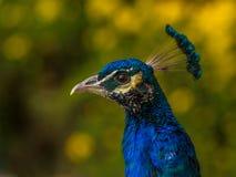 美丽的孔雀画象侧视图 免版税库存照片