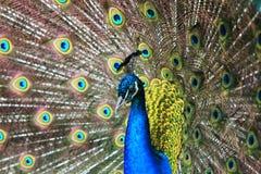 美丽的孔雀纵向 免版税图库摄影