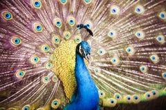 美丽的孔雀 免版税库存照片