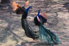 美丽的孔雀 库存图片