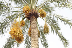 美丽的字符串约会枣椰子 库存照片