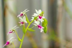 美丽的字符串综合严重的深度开花宏观紫红色兰花照片锋利白色 图库摄影