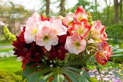 美丽的孤挺花开花属石蒜科 库存图片