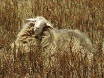 美丽的孤独的绵羊 免版税库存照片