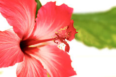 美丽的室内植物木槿开花了红色花 免版税库存图片