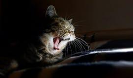 美丽的家庭虎斑猫打呵欠,疲倦了,要睡觉 免版税库存照片