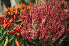 美丽的寻常桃红色和紫色花knospenheide和的紧急电报和辣椒的果实也叫装饰胡椒  免版税图库摄影