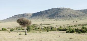 美丽的小丘和金合欢树在马塞人玛拉国家公园 免版税库存图片