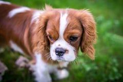 美丽的小犬座养殖站立在一个绿色草甸的一个西班牙猎狗 水平的框架 库存照片
