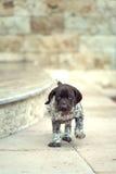 美丽的小狗德国短毛指针 免版税图库摄影
