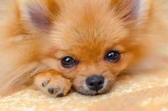 美丽的小狗pomeranian波美丝毛狗特写镜头,选择聚焦 免版税库存照片