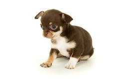 美丽的小的奇瓦瓦狗小狗 免版税库存照片