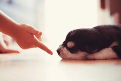 美丽的小的小狗西伯利亚爱斯基摩人 库存照片