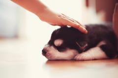 美丽的小的小狗西伯利亚爱斯基摩人 免版税库存图片