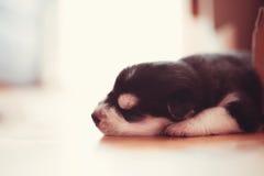 美丽的小的小狗西伯利亚爱斯基摩人 库存图片