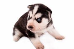 美丽的小的摆在白色背景的小小狗西伯利亚爱斯基摩人 免版税图库摄影