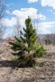 美丽的小的松树 免版税库存照片