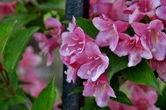 美丽的小的桃红色花关闭  免版税库存照片