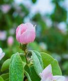 美丽的小的苹果树花特写镜头 免版税图库摄影