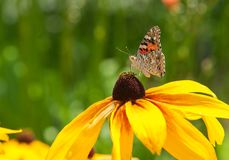 美丽的小的蝴蝶坐一朵黄色花 库存照片
