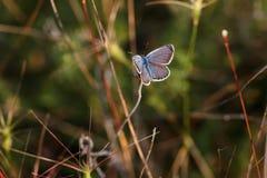 美丽的小的蝴蝶坐草由落日点燃了 免版税库存图片