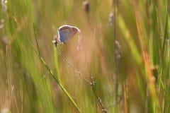 美丽的小的蝴蝶坐草由落日点燃了 图库摄影
