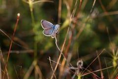 美丽的小的蝴蝶坐草由setti点燃了 图库摄影