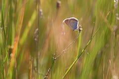 美丽的小的蝴蝶坐草由setti点燃了 免版税库存图片