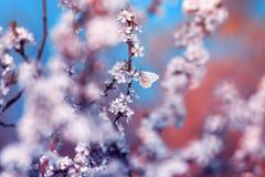 美丽的小的蝴蝶掠过在与白色的分支开花在5月温暖的晴朗的庭院里的灌木芽反对 免版税库存照片