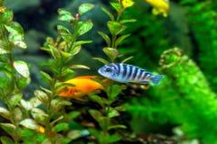 美丽的小的水族馆鱼 库存图片