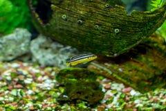美丽的小的水族馆鱼 免版税库存照片