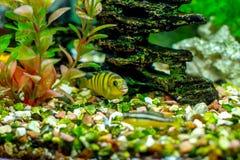 美丽的小的水族馆鱼 免版税图库摄影