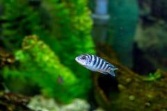 美丽的小的水族馆鱼 免版税库存图片