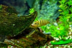 美丽的小的水族馆鱼 库存照片