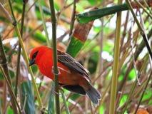 美丽的小精美红色主要Fody或共同的Fody鸟男性坐分支 免版税库存照片