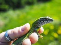 美丽的小蜥蜴 免版税库存图片