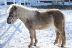 美丽的小马在动物园里 免版税库存照片