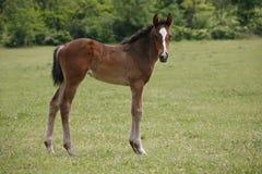 美丽的小马在牧场地 库存照片