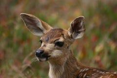 美丽的小鹿 库存照片